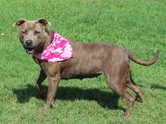 #OKLAJOMA ~ My name is CARLOTTA. I am a female American Staffordshire Terrier. I am around 2 years old and have been at the shelter since June 8th, 2014. I am a spunky girl who loves to play. I am super sweet and love attention. I am ready for my forever family. Come meet me at the shelter today!