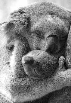 Koala mother and baby
