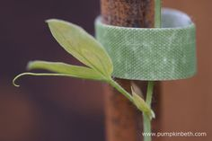 Velcro One-Wrap Plant Ties securing a Sweet Pea plant to its support. Sweet Pea Plant, Growing Sweet Peas, Sweet Pea Seeds, Sweet Pea Flowers, Plant Supports, Different Plants, Flower Seeds, Ties, Pumpkin