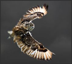 Bengal eagle owl in August Wild Animals Videos, Nocturnal Birds, Great Grey Owl, Owl Photos, Beautiful Owl, Aesthetic Backgrounds, Owl Art, Birds Of Prey, How Train Your Dragon