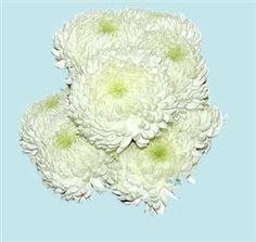 Mayesh Wholesale Florists  China Mums