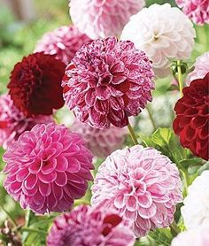 """Pot Luck"" Dahlia - one plant will produce dozens of blooms of varying colors"