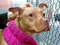 TO BE DESTROYED - 02/25/14 Manhattan Center. My name is REMY. My Animal ID # is A0992133.I'm a female tan and white pit bull mix. The shelter thinks I'm about 1 YR. Shelter life is stressing her out. She had a family and lived w/other dogs before so she has no idea what's going on and looks a little lost - but is still sweet as pie! Make her part of your family! https://www.facebook.com/photo.php?fbid=762592633753618&set=a.611290788883804.1073741851.152876678058553&type=3&permPage=1