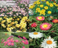Australian Native Daisies for Summer #brachyscome #bracteantha #flower #summer #aboutthegarden