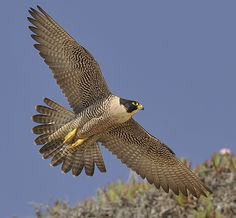 Peregrine falcon | Peregrine Falcon at Torrey Pines | Flickr - Photo Sharing!