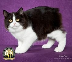 The Manx cat is an ancient breed that originated on the Isle of Man in the Irish Sea. The Manx taillessness is caused by a mutation that probably originated among the island's native shorthair cat population and, because it is a dominat gene, spread to the other cats on the island.