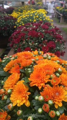 Keep Your Fall Flowers Blooming all Season with this Essential Care Guide for Hardy Mums - Gardening Garden Mum, Garden Care, Autumn Garden, Shade Flowers, Fall Flowers, Blooming Flowers, Hibiscus Flowers, Cactus Flower, Exotic Flowers