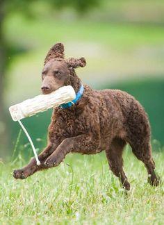Curly Coated Retriever #Dogs #Puppy Curly Coated Retriever, Braque Du Bourbonnais, English Dogs, Terrier, Murray River, Nova Scotia Duck Tolling Retriever, Retriever Puppy, Dog Show, Photos