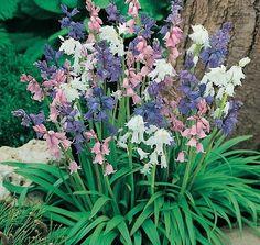 Bluebells Mixture - Australian Gardener