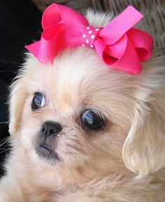 Pekingese - I love our kitty, but just look at that little sweet peke face!