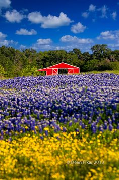 Red Barn in the Bluebonnet Field, Ennis, Texas