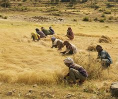 Teff, a staple grain in Ethiopia, is a highly nutritious and hardy grain which has potential to help improve food security throughout the developing world. Ayurveda, Ayurvedic Diet, Quinoa, Bad Carbohydrates, Sour Taste, Healthy Grains, Chia, Seed Bank, Food Security