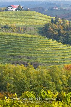 Vineyard near Jeruzalem (Slovenia)