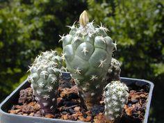 Turbinicarpus lophophoroides della famiglia delle Cactacee