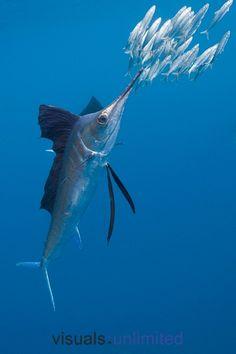 Atlantic Sailfish hunting Sardines by Reinhard Dirscherl via MeLissa Brown Underwater Creatures, Underwater Life, Ocean Creatures, Under The Ocean, Sea And Ocean, Beautiful Fish, Animals Beautiful, Vida Animal, Beneath The Sea