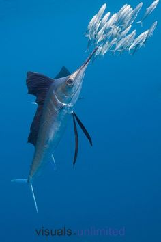 Atlantic Sailfish hunting Sardines by Reinhard Dirscherl