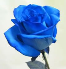 Blue Roses | Blue Rose Florist - Unique flowers and blue roses for Toronto and ...