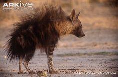 Brown Hyena - Sök på Google