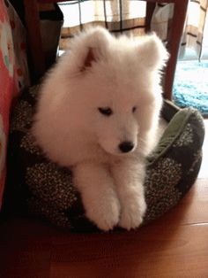 OMG. I want like 10 of these. There's nothing like a Samoyed puppy.