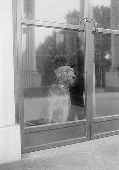 Laddie Boy gazing through the White House window. The next day President Harding died in San Francisco.