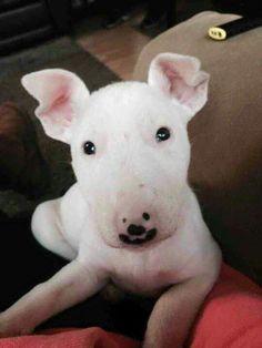 #Bull #Terrier Baby face