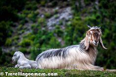 Himalayan Goat around Barot Town in Himachal Pradesh, India