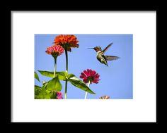 Hummingbird Happiness Framed Print By Christina Rollo