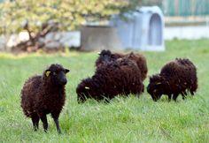 A prefeitura de Paris contratou quatro carneiros para aparar o gramado em frente aos Arquivos Municipais. Se der certo, a ideia pode