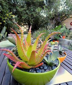 Aloe dorotheae,  danger garden