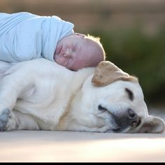Newborn napping on top of yellow Lab.
