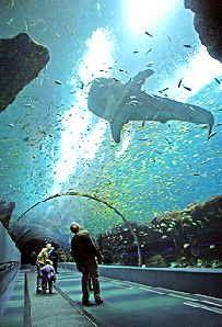Atlanta Aquarium..., home of the whale sharks shellclan