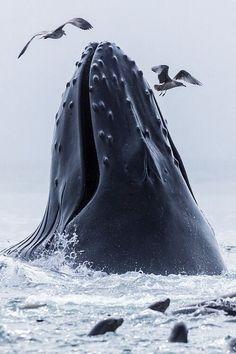 http://paruscaeruleus216.tumblr.com/post/108900521923/janetmillslove-whale-moment-love