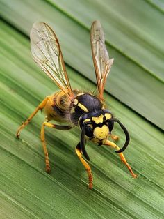 A simple guide to what to do when your dog is Stung by a wasp. Find out how to determine if your dog is having an allergic reaction, and what to do. Get Rid Of Wasps, Bees And Wasps, Reptiles, Mammals, Cool Insects, Bugs And Insects, Wasp Killer, Wasp Spray, Wasp Stings