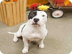 Raleigh, NC - American Staffordshire Terrier Mix. Meet LAGATHA, a dog for adoption. http://www.adoptapet.com/pet/11602530-raleigh-north-carolina-american-staffordshire-terrier-mix