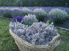 Z letošní sklizně...  #levandulepetrzilka#lavandulaangustifolia#pestovani#levandule#lavanda#herbs#