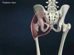 Gluteus Maximus - Anatomy Online Course