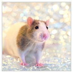 Mani 12 - Fancy rat by DianePhotos on deviantART