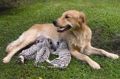 Dog adopted little tigers