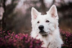 Hunde - Felli Photography - Vicky Fellinger Online Galerie, Dog Photography, Dog Pictures, Husky, Dogs, Animals, Photo Shoot, Animales, Animaux