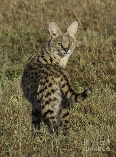 African Serval Wild Cat | of african serval ears help serval at a few photos