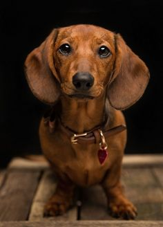 Meet the Mutley's Snaps mini muse - Flo the Dachshund. We've known Flo since she was a little puppy and have the pleasure of photographing her many times. Dapple Dachshund Puppy, Dachshund Puppies For Sale, Dachshund Love, Funny Dachshund Pictures, Weenie Dogs, Pet Dogs, Chihuahua Dogs, Photo Animaliere, Dog Photography