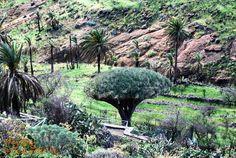 Smocze drzewo Drago de Agalan w wąwozie Barranco de Tajonaje #LaGomera