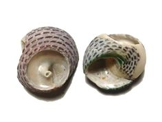 Trochidae, Apollo Bay, VIC (0.9g)