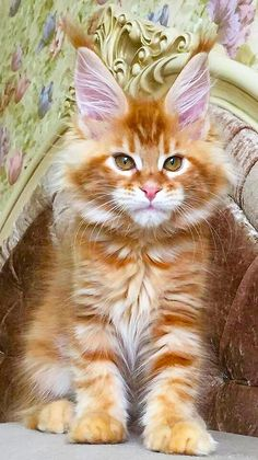 Big Ears Maine Coon Kitten If you're looking for Free Maine Coon Kittens for adoption we've written some tips on how to find Free Maine Coon Cats and where to look for them. Cute Kittens, Cats And Kittens, Pretty Cats, Beautiful Cats, Animals And Pets, Cute Animals, Baby Animals, Funny Animals, Gatos Cats