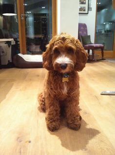 Benji has been to the groomers today - I Love My Cockapoo Forums