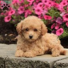 Bich-poo Puppy in Quarryville, PA Free Crochet Rose Pattern, Greenfield Puppies, Bichon Frise, Puppies For Sale, Poodle, Dogs, Animals, Animales, Animaux