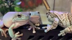 Cute Little Animals, Cute Funny Animals, Cute Dogs, Cute Reptiles, Reptiles And Amphibians, Animals And Pets, Baby Animals, Whites Tree Frog, Pet Frogs