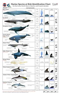 Marine Species at Risk Identification Chart