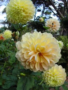 Dahlia 'Honey Dew'