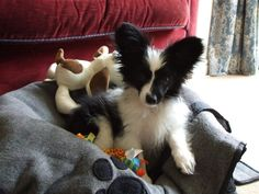 Already knew that he'd be handsome, right?  Rafael as a Puppy! #papillon #dog